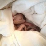 Mâle sphynx des Elfes du Lac, Nudelook Tolkien's Baby