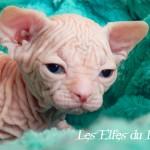 Hasufel du Rohan des Elfes du lac, chaton sphynx blanc